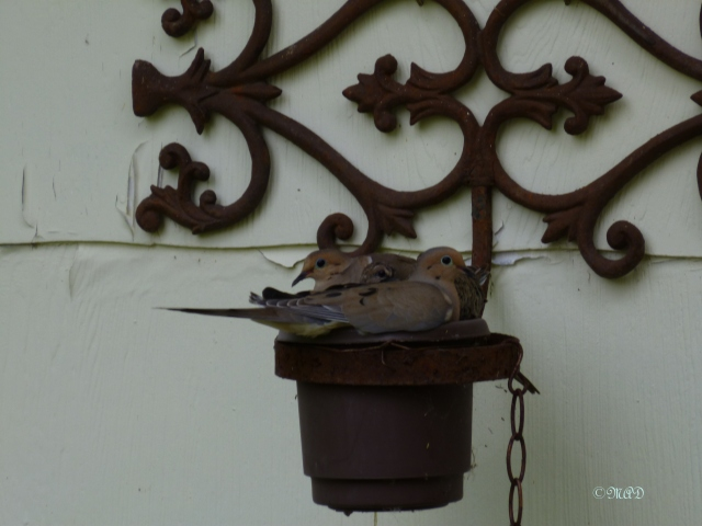 May 28, 2013 Complete Dove Family 004