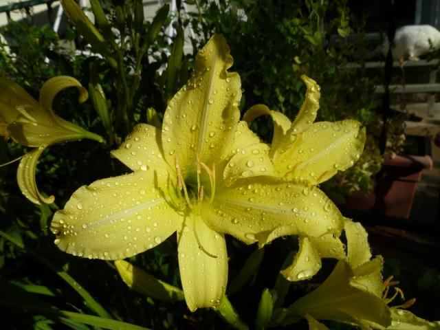 Prairie Moon Lily